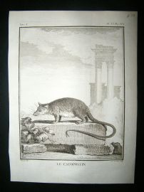 Buffon: C1770 Cayopollin, Antique Print